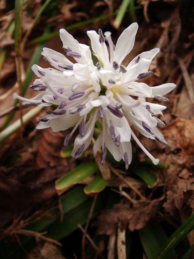 上の3枚と近い場所にて。花弁は純白だが葯は薄紫色でした