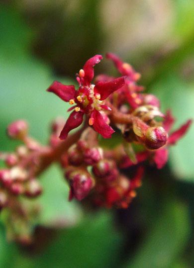 クロクモソウ Saxifraga fusca Maxim. subsp. kikubuki