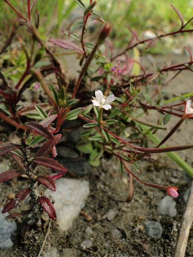 トダイアカバナ (戸台赤花) アカバナ科 アカバナ属 2010.9.12 長野県諏訪郡