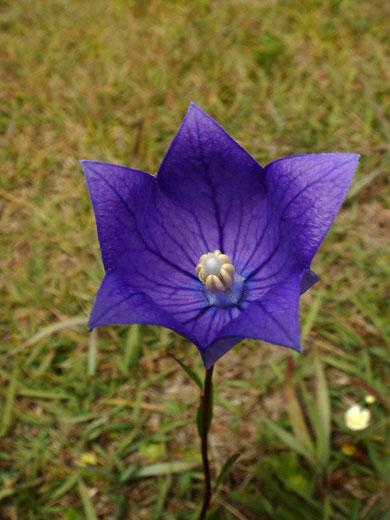 #6 開花後間もないキキョウの花 2011.09.25