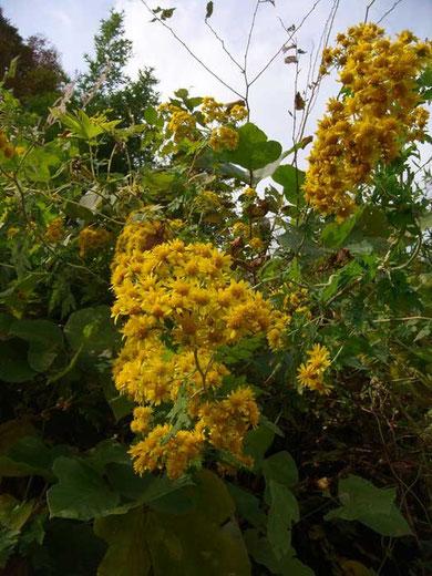 アワコガネギク (粟黄金菊) キク科 キク属   2010.11.07 茨城県