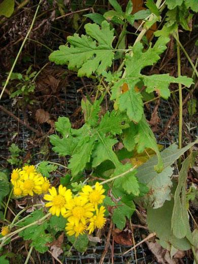 アワコガネギクの葉