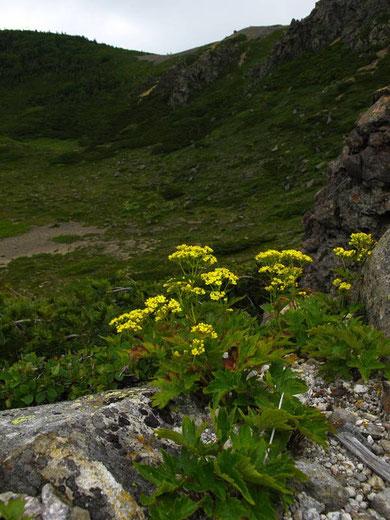 ハクサンオミナエシ (白山女郎花) スイカズラ科