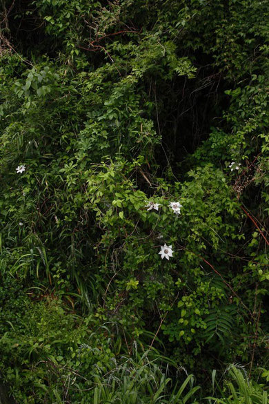 写真3 写真1、2の花から20mほど離れた場所にもいました