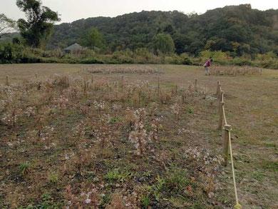 カワラノギクの保護育成地