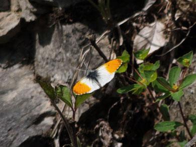クモマツマキチョウ (雲間褄黄蝶) シロチョウ科