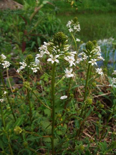 トウサワトラノオ 時期は早すぎたがいくつか咲きだしていてくれた