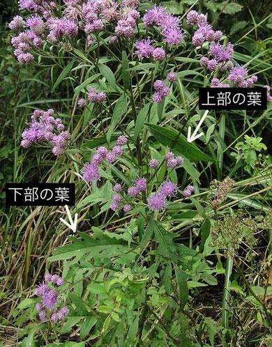 ヒメヒゴタイ  2010.09.25 長野県