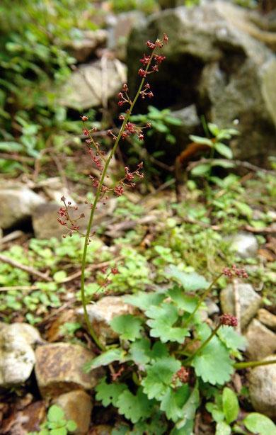 クロクモソウ (黒雲草) ユキノシタ科 ユキノシタ属
