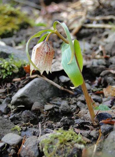 ミノコバイモ  2010.04.04 岐阜県