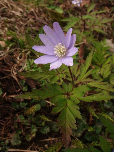 キクザキイチゲ(菊咲き一華) 新潟には薄紫の花が多い