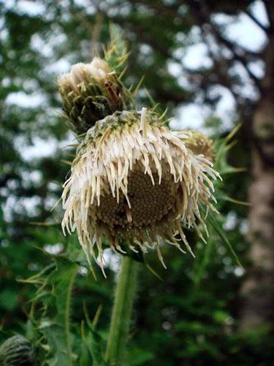 ジョウシュウオニアザミ(白花) 2008.07.06 群馬県 野反湖