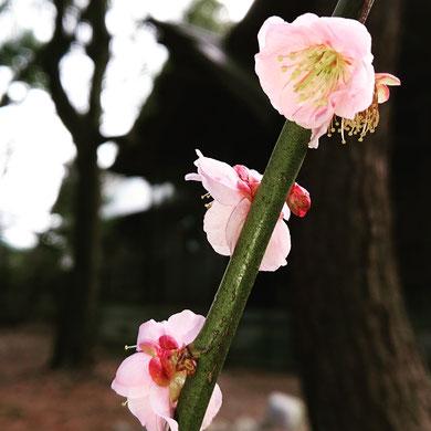 十社大神の境内に植えられた梅の花