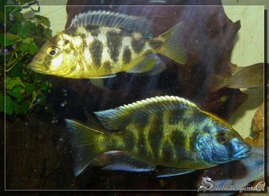 Couple (femelle en haut, mâle en bas)