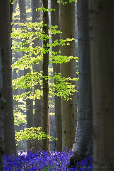 Frisches Buchengrün im blauen Wald