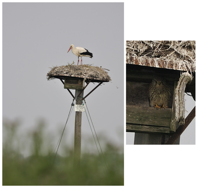 Cigogne blanche - Brouage (17) - 27/04/2011