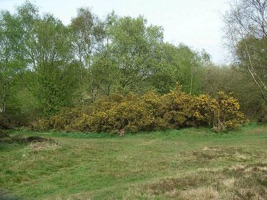 Gorse, a typical heathland plant, thrives in Sutton Park.