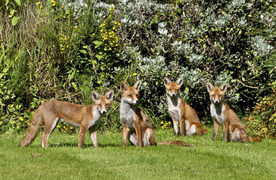 Young foxes in a Kings Norton garden at 10 am on an August morning. 'All Rights Reserved' photograph by Paul Tomlins used with his kind permission from the flickr website. See Acknowledgements for a direct link to that site.