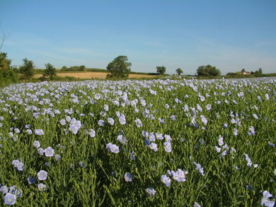 Flax in flower (not in Birmingham). Image by skw/ Stuart Williams on Flickr. Copying permitted under Creative Commons Licence: Attribution-Non-Commercial-Share Alike 2.0 Generic.