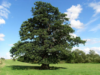 Oak tree - generic