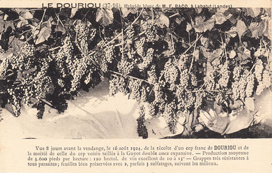 baco, françois, peyrehorade, orthe, landes, aquitaine, dax, adour, belus, labatut, greffe, greffon, phylloxera, armagnac, vignoble, instituteur, hybride, hybridation, viticulture, hudson