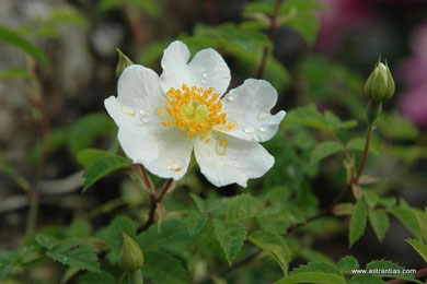 Rosa arvensis - Rosa repens - Feld-Rose - Kriechende Rose - Rosier des champs - Rosa cavallina - Wildrosen - Wildsträucher - Heckensträucher - Artenvielfalt - Ökologie - Biodiversität
