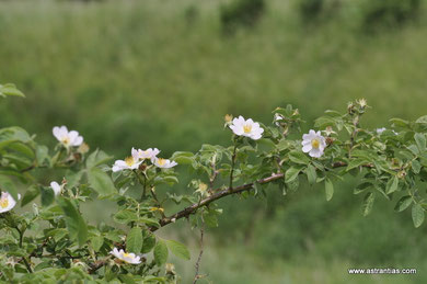 Rosa corymbifera - Rosa dumetorum - Busch-Rose - Hecken-Rose - Rosier corymbifère - Rosa corimbifera - Wildrosen - Wildsträucher - Heckensträucher - Artenvielfalt - Ökologie - Biodiversität - Wildrose