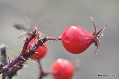 Rosa rhaetica - Rhätische Rose - Bündner Rose - Rosier rhaetica - Rosa retica - Wildrosen - Wildsträucher - Heckensträucher - Artenvielfalt - Ökologie - Biodiversität - Wildrose