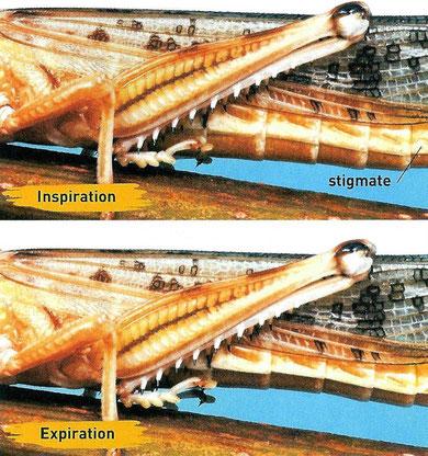 Mouvements respiratoires chez le criquet. Source: internet.