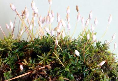 Aloeblättriges Filzmützenmoos (Pogonatum aloides)