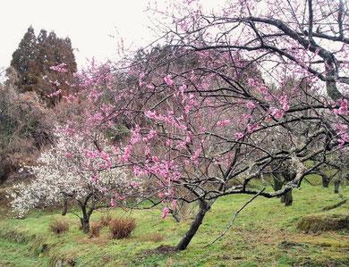 大分市にある吉野梅園の紅梅と白梅です。もう春ですね(^^)。