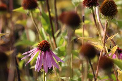 Echinacea - naturalny antybiotik