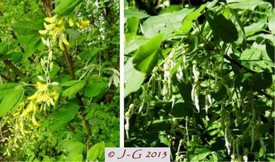 Bild links: Goldregenblüte - Bild rechts: Früchte