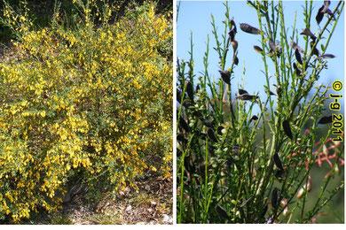 Bild links: Blüte, rechts: Schoten