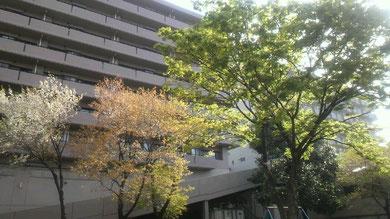 三色の桜。まだ散り残ってる白、葉桜になりかけのピンク、鮮やかな新緑。