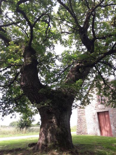 Chêne gardien à Brocéliande