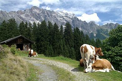 Kühe am Fuße des Hochkönigs