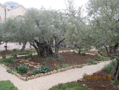 Древние маслины в Гефсимании