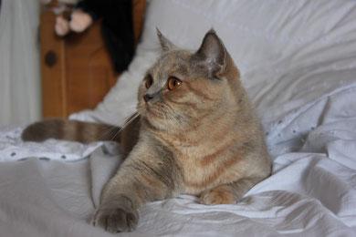 Priscilla Del Piccolo Felino, Scottish Straight lilac cream, Nata il 01-12-2012