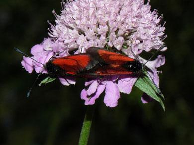 Zygena purpuralis (Thymian-Widderchen)