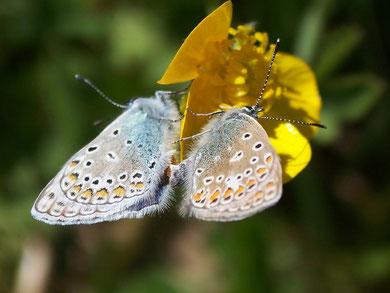 Polyommatus icarus (Heuhechelbläuling)