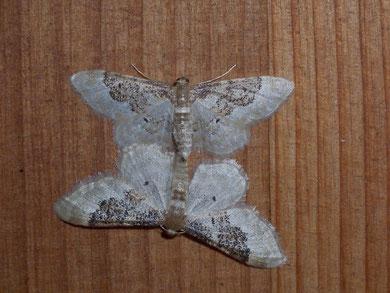 Idaea rusticata (Südlicher Zwergspanner)