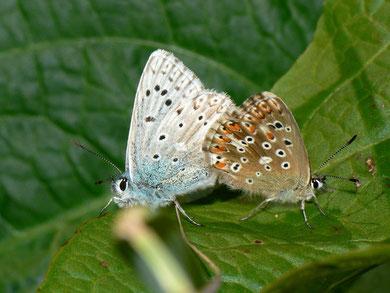 Polyommatus coridon (Silbergrüner Bläuling)