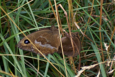Minois drias (Blauäugiger Waldportier)