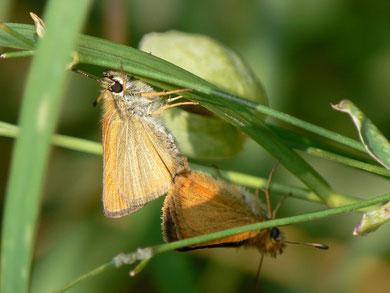 Thymelicus lineola (Schwarzkolbiger Braundickkopffalter)