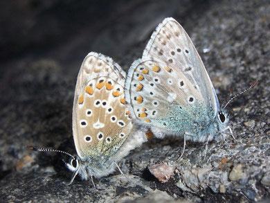 Polyommatus icarus (Hauhechelbläuling)