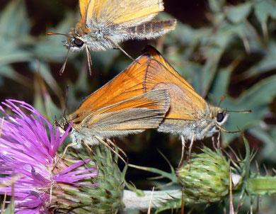 Thymelicus sylvestris (Braunkolbiger Braundickkopffalter)