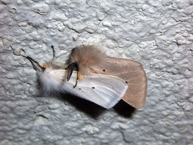 Diaphora mendica (Graubär)