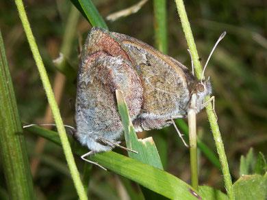 Erebia tyndarus (Schillernder Mohrenfalter)