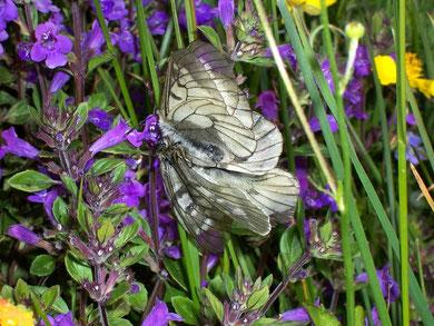 Parnassius mnemosyne (Schwarzer Apollo)